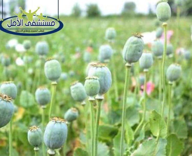 12 استخدام لنبات الخشخاش